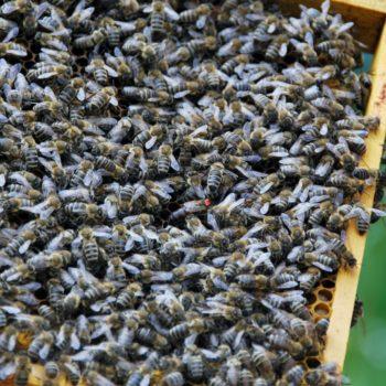 Bienen LFS Tamsweg