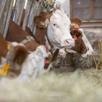 Kühe im Stall der LFS Tamsweg
