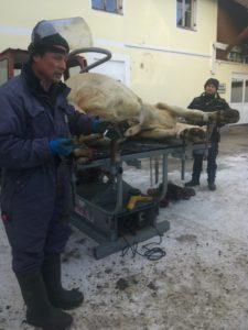 Behandlung einer akkuten Lahmheit bei der Kuh Molly vom Standlhof am Klauenpflegestand durch Robert Pesenhofer